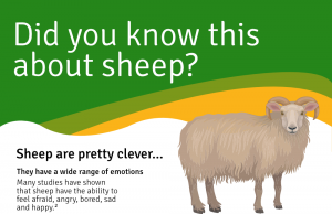Sheep Infographic - Featured Image